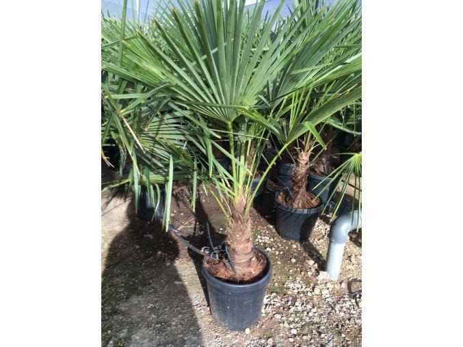 Trachycarpus fortunei, Konopná palma, 160-170 cm, JEDNOTNÁ CENA PRONÁJMU NA 1-7 DNÍ.