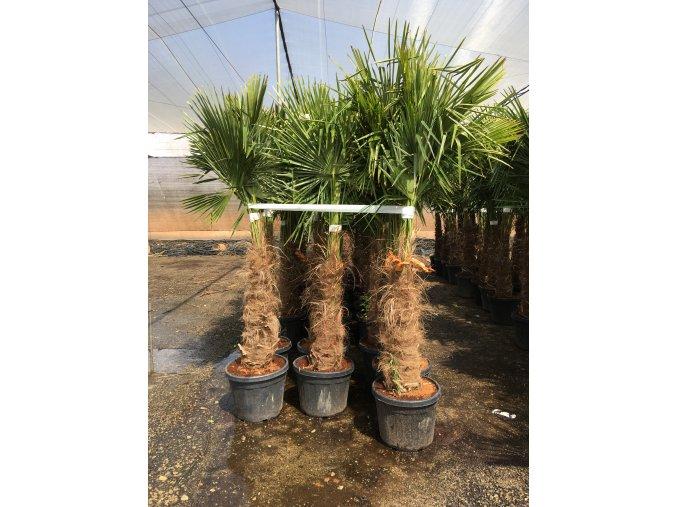 Trachycarpus fortunei, Konopná palma, 180-200 cm, JEDNOTNÁ CENA PRONÁJMU NA 1-7 DNÍ.