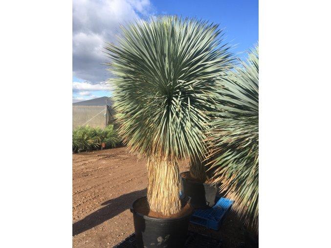 Yucca Rostrata, původ rostliny Španělsko .Výška rostliny 2,5m