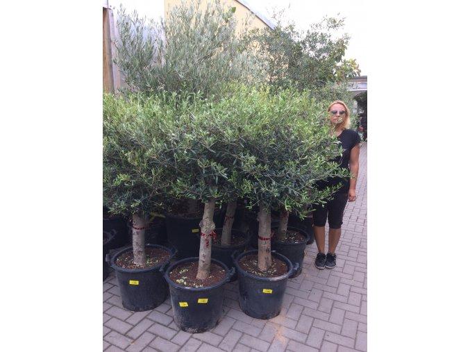 Olea europea , Olivovník. cca 160 cm, jednotná cena pronájmu na 1-7 dní.