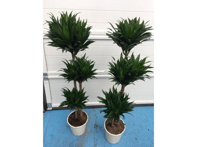 Dracaena Compacta, dracena, původ rostliny Španělsko. 125 cm, JEDNOTNÁ CENA PRONÁJMU NA 1-7
