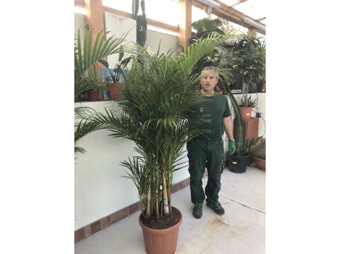 Areca lutescens, chrysalidocarpus, dypsis. 170 cm, JEDNOTNÁ CENA PRONÁJMU NA 1-7 DNÍ.