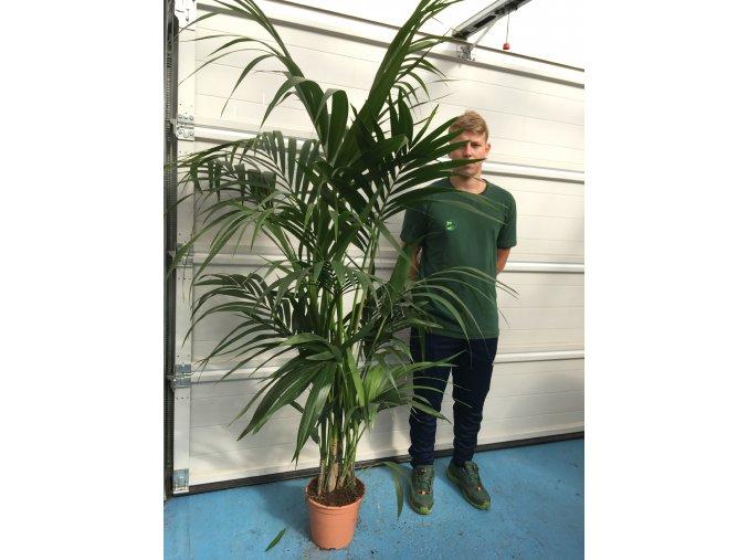 Howea Forsteriana , palma , původ palmy Španělsko.190-200 cm, JEDNOTNÁ CENA PRONÁJMU NA 1-7 DNÍ.
