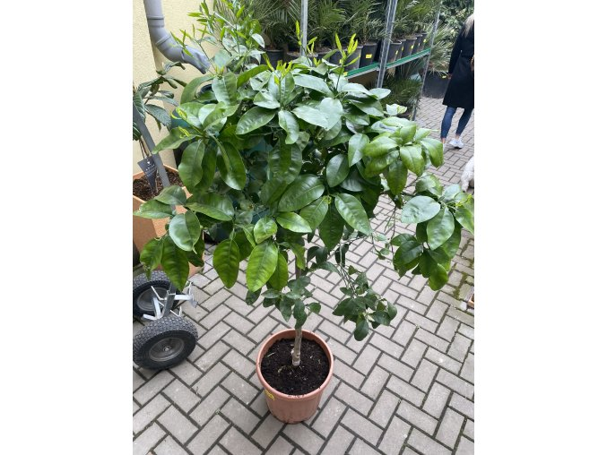 Grepovník , citrus paradisi. 160 cm