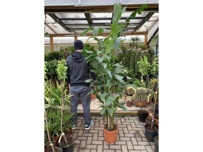 Caryota mitis, původ palmy Španělsko 170 cm