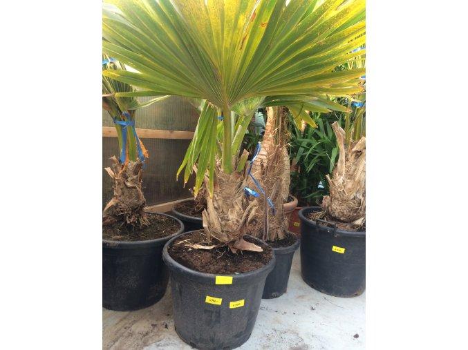 Pritchardia hillebrandii, palma, původ palmy Španělsko. 160-180 cm