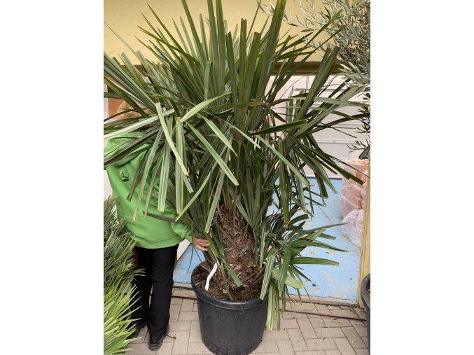 Rhapidophyllum hystrix, mrazuvzdorná palma, původ palmy Španělsko 180 cm