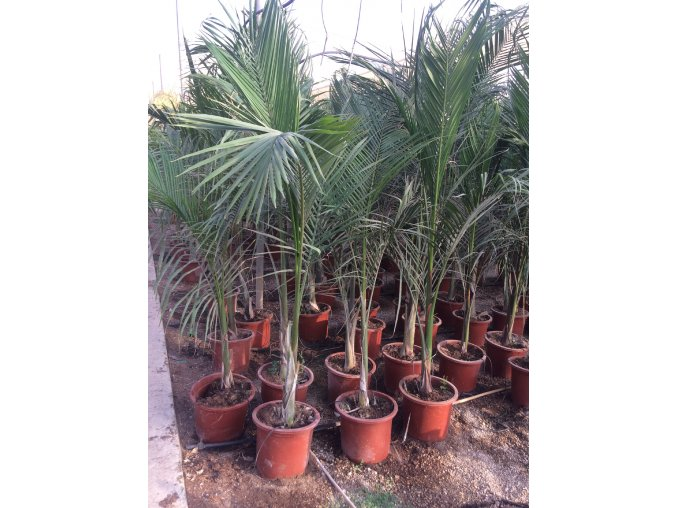 Roystonea Regia, palma,  170 cm.