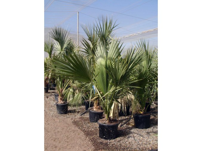 Sabal palmetto 55l (2)