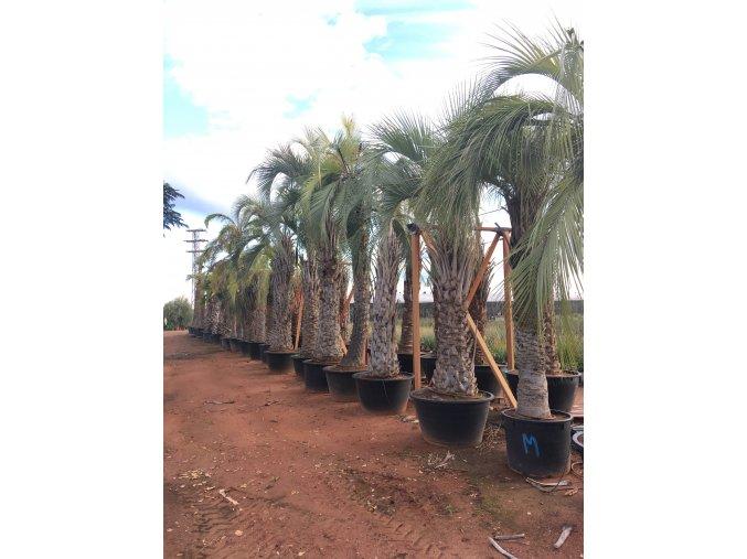 Butia capitata , palma , původ palmy Španělsko. 450 cm