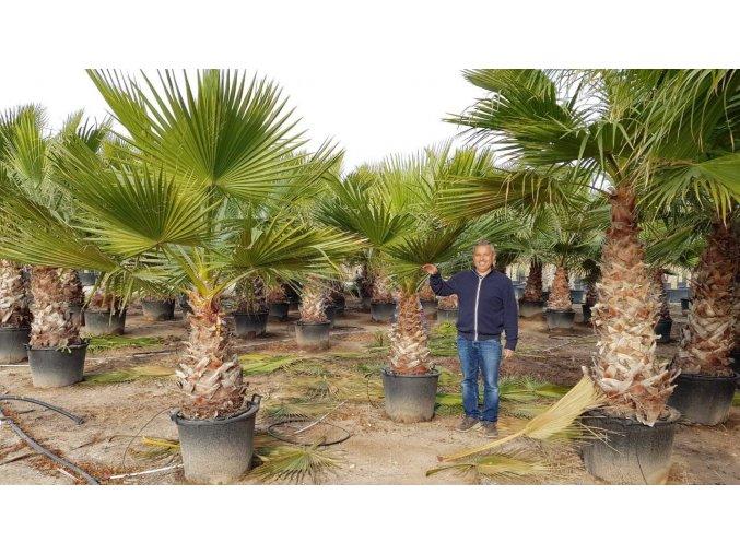 Washingtonia robusta , palma , původ palmy Španělsko. Kmen 90 cm.