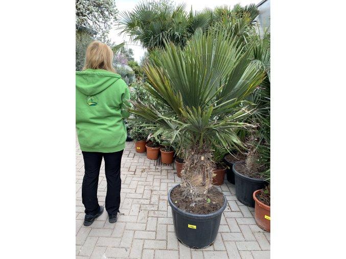 Trithrinax brasiliensis, palma, původ palmy Španělsko. 160-170 cm