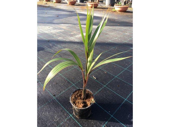 Hyophorbe Leganicaulis, lahvová palma, původ palmy Španělsko. 30 cm