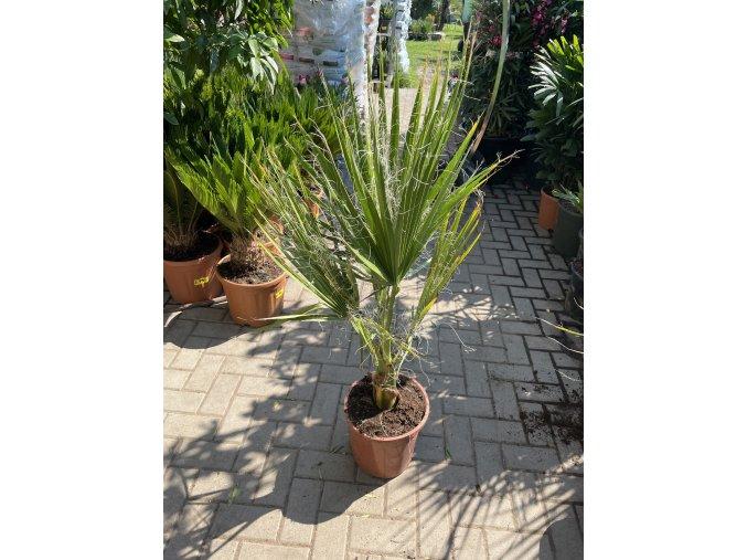 Washingtonia Filifera , palma , původ palmy Španělsko. 100 cm