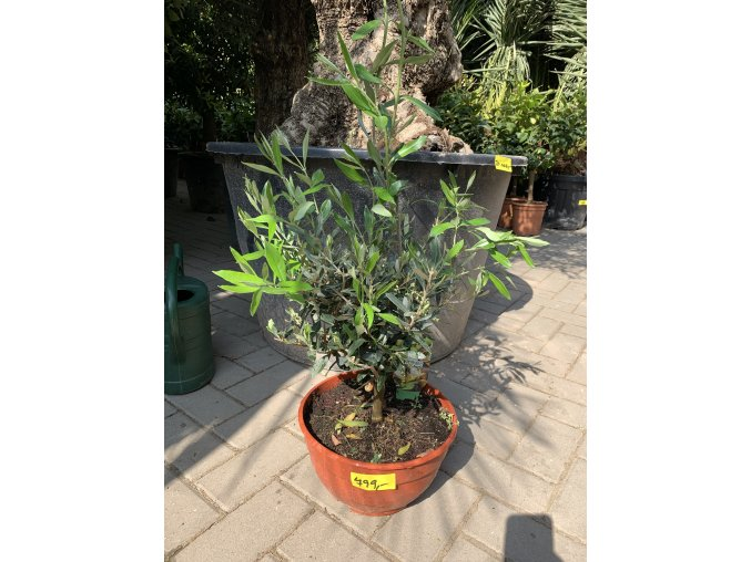 Olea europea , Olivovník 20 cm