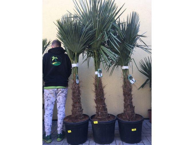 Trachycarpus fortunei, Konopná palma, mrazuvzdorná, původ palmy Španělsko. 170-180 cm, kmen 50 cm+