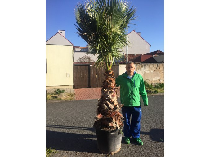 Washingtonia robusta , palma , původ palmy Španělsko.Kmen 100 cm, 220 cm