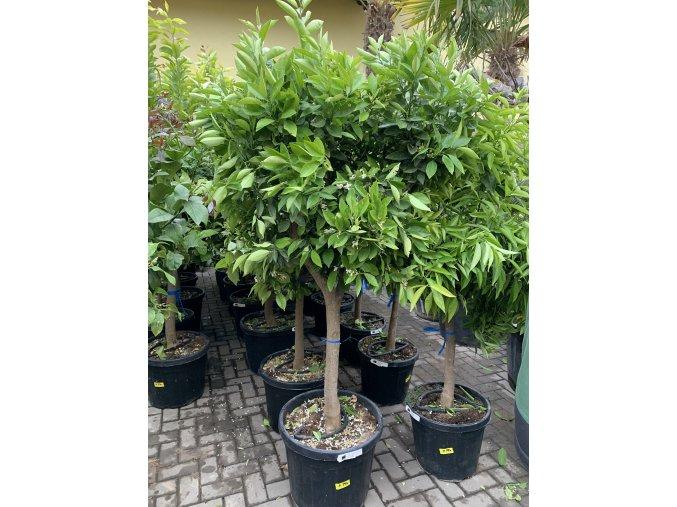 Pomerančovník, původ rostliny Španělsko. 180 cm