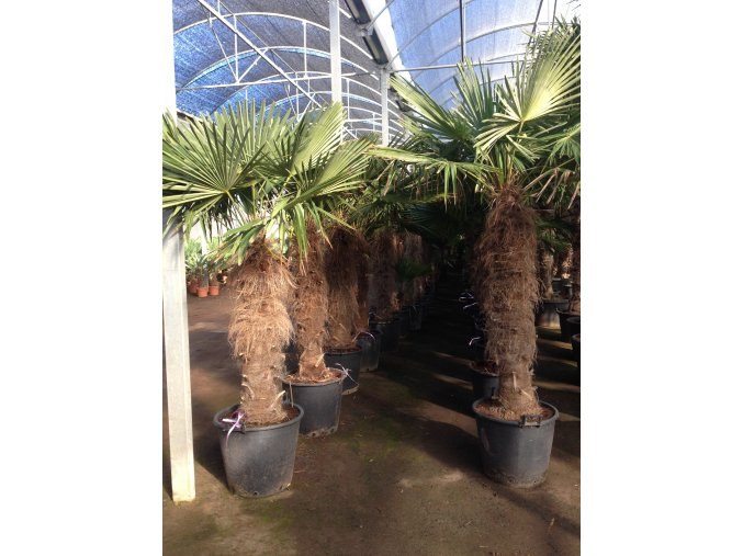 Trachycarpus fortunei, Konopná palma, mrazuvzdorná, původ palmy Španělsko. cca 240 cm