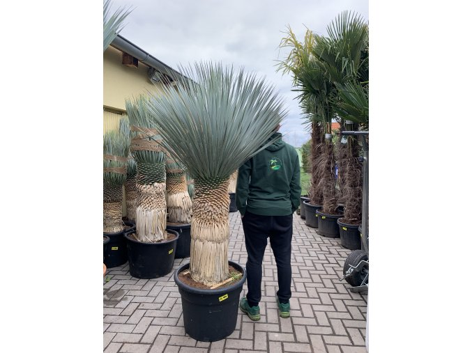Yucca Rostrata, výška rostliny 140 cm.