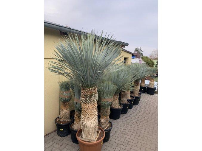 Yucca Rostrata, výška rostliny 180 cm.