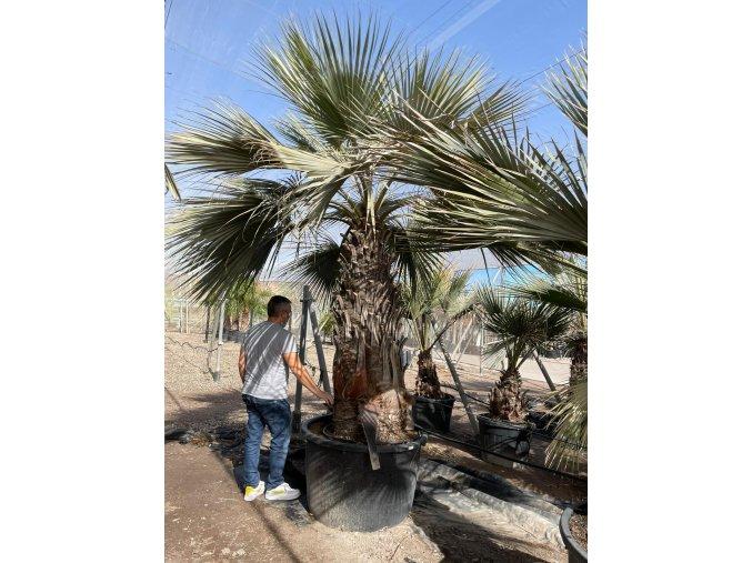 Brahea armata,modrá palma , původ palmy Španělsko. 350+cm