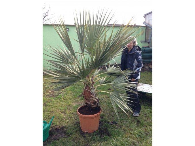 Nannorhops ritchiana, mrazuvdorná palma, původ palmy Španělsko. 160 cm