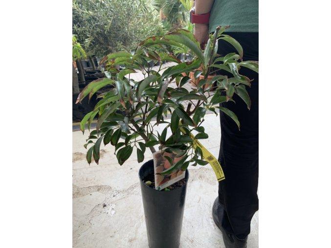 Litchi chinensis 80 cm