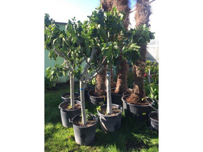 Ficus carica, fíkovník. 160 cm