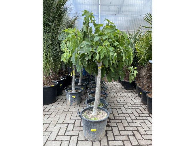 Ficus carica, fíkovník. 150 cm