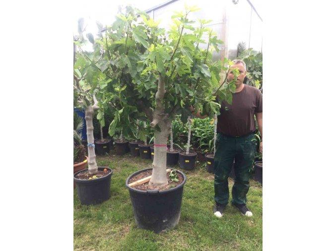 Ficus carica, fíkovník. 200 cm