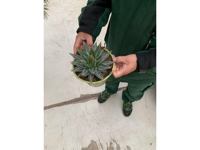 AGAVE VICTORIA REGINAE 10 cm