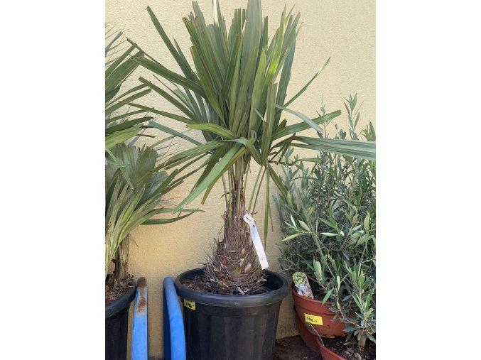 Rhapidophyllum hystrix, mrazuvzdorná palma, 70 cm+