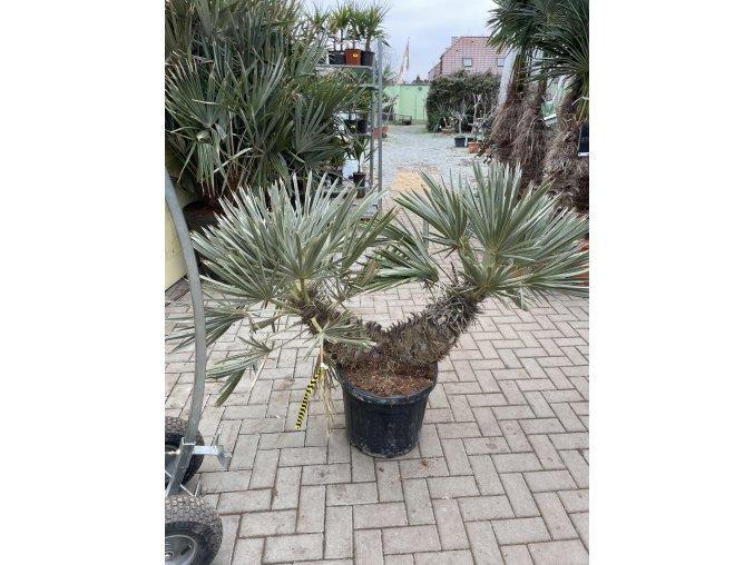 Trithrinax campestris, palma, výška rostliny 120 cm.