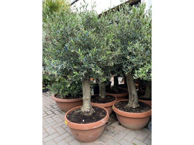 Olea europea - Olivovník 160 cm, miska