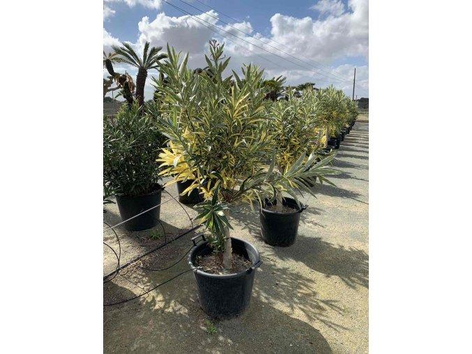 Nerium oleander, stromek
