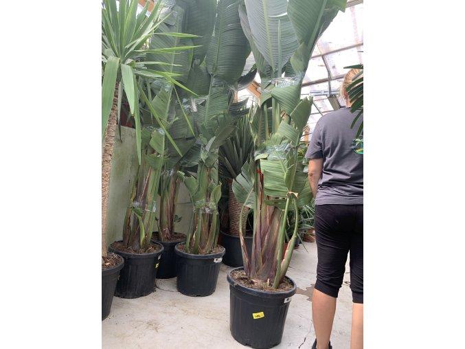 Strelitzia augusta, původ Španělsko. 200 cm