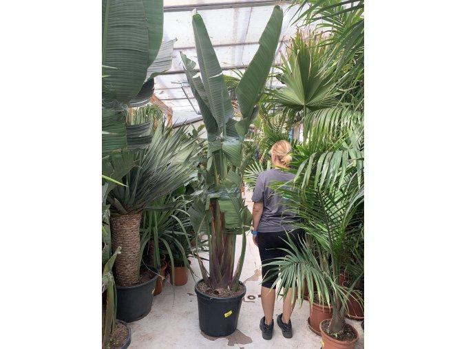 Strelitzia augusta, původ Španělsko. 320 cm