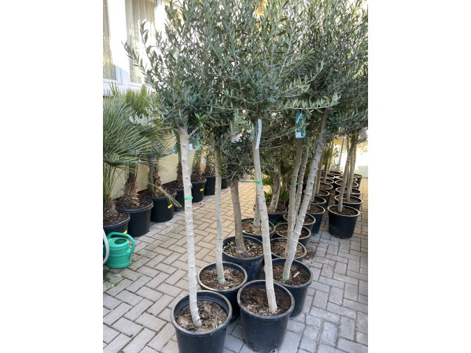 Olea europea , Olivovník.150+ cm, obvod kmene 15 cm