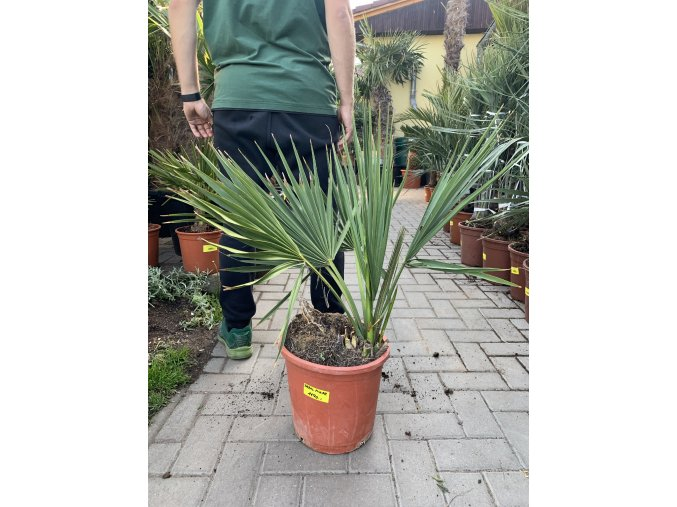 Sabal minor, Trpasličí Palmetto palma, 60 cm