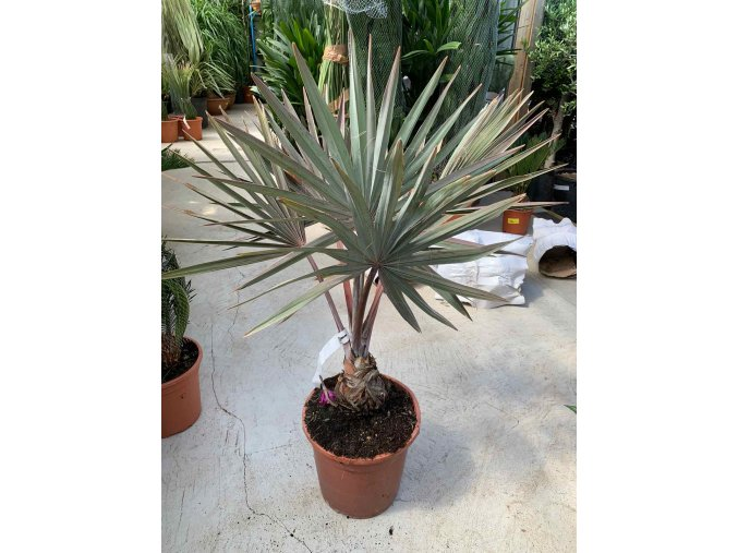 Bismarckia nobilis, Bismarckova palma. 60 cm