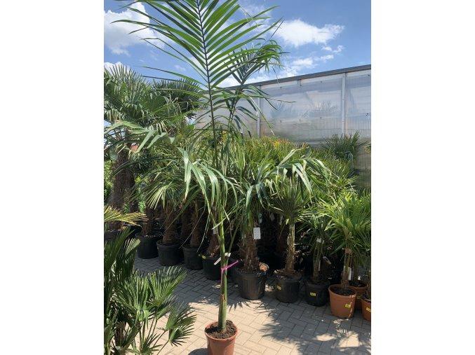 Archontophoenix alexandrae, Alexandrova palma, 250 cm