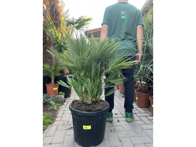 Chamaerops humilis vulcano , palma , 90 cm