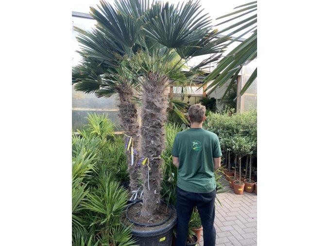 Trachycarpus wagnerianus, Wagnerova palma, kmen 140 cm, celková výška 240 cm