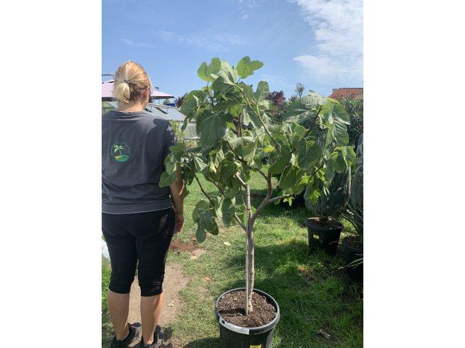 Ficus carica, fíkovník. cca 160 cm