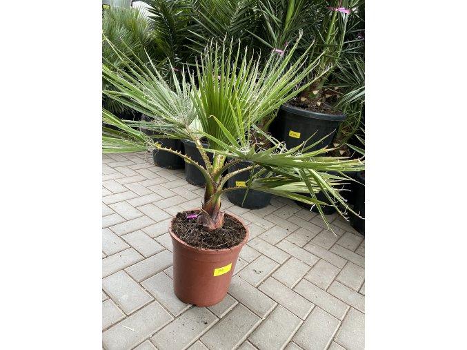 Washingtonia Filifera , palma , 140 cm