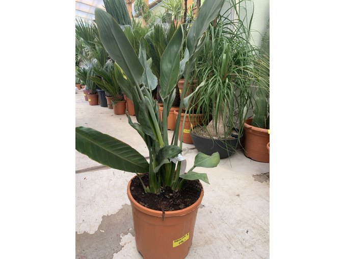 Strelitzia reginae, původ Španělsko, 120 cm