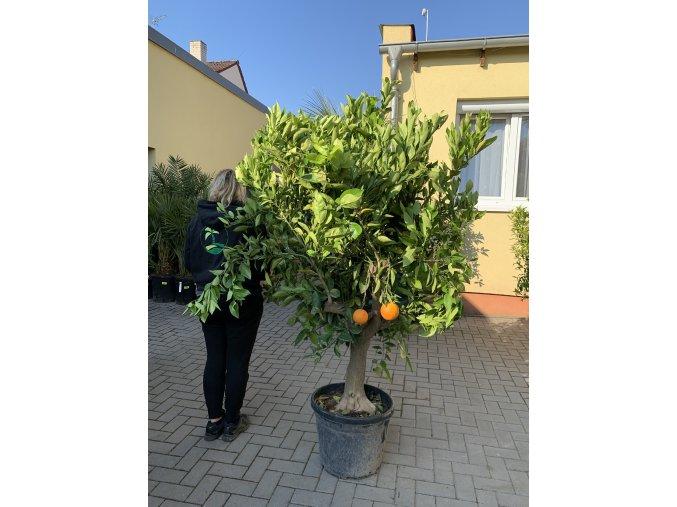 Pomerančovník,  180+ cm