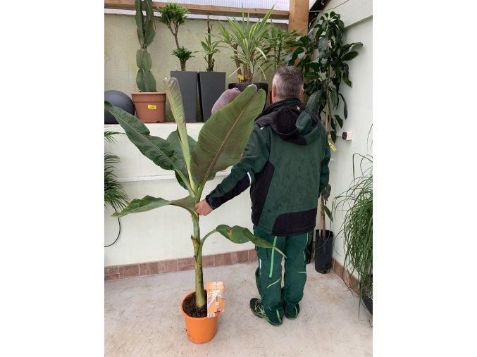 Banánovník červený, musa acuminata, red dacca. 140 cm