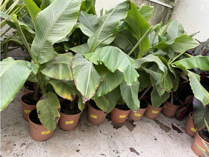 Banánovník musa basjoo, 140 cm